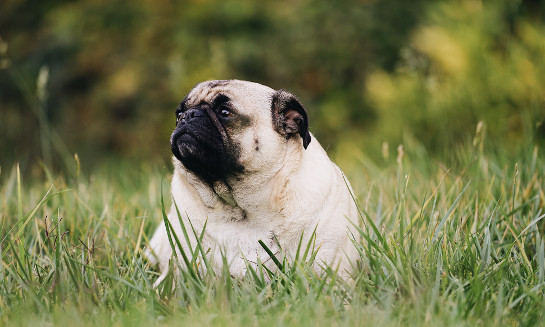 Obese dogs could have similar personality traits to overweight humans